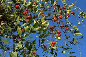 야생의 멧대추나무