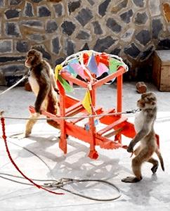 관새와 산악 원숭이 공연